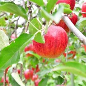 いぼ痔はリンゴの木