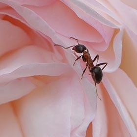 痔ろう(穴痔)はアリの巣